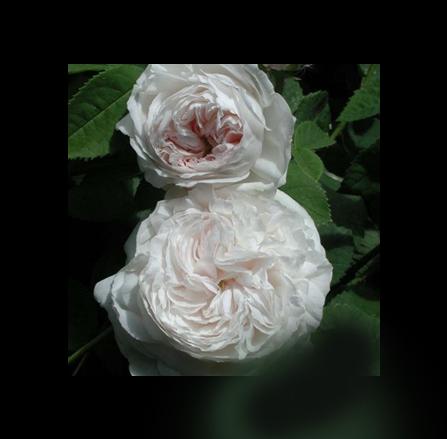 Ρόζα Μπότσαρη του Τριαντάφυλλο